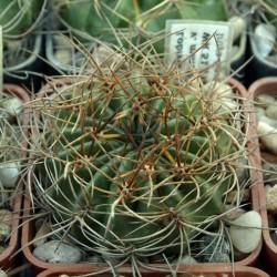 Lobivia chrysochete v. minutiflora