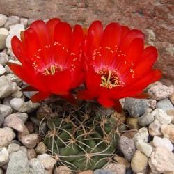 Lobivia pugionacantha v. culpinensis
