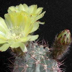 Acanthocalycium thionanthum v. glaucum