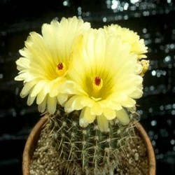 Notocactus mammullosus