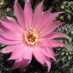 """Rebutia einsteinii v. aureiflora """"kesselingiana"""""""