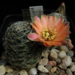 Rebutia pygmaea v. rosalbiflora