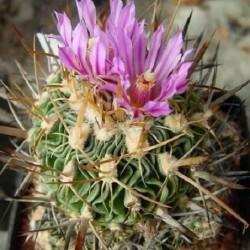 Stenocactus anfractuosus