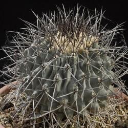 Thelocactus saladensis