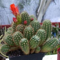 Trichocereus huascha v. pecheretianus
