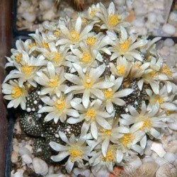 Blossfeldia minima