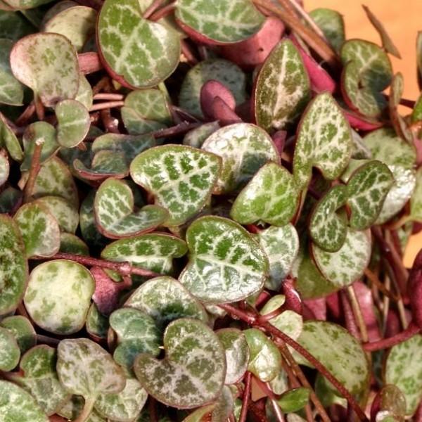 Ceropegia Woodii Seeds