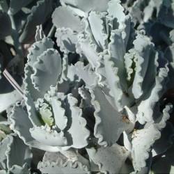 Cotyledon orbiculata v. undulata