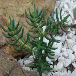Crassula tetragona v. robusta