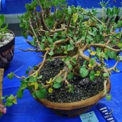 Jatropha cinerea