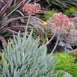 Cotyledon orbiculata v. flaniganii