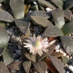 Aloinopsis rubroliniata