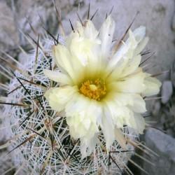 Coryphantha werdermannii