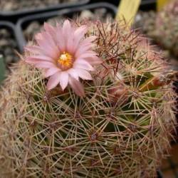 Escobaria chihuahuensis