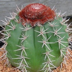 Melocactus salvadorensis