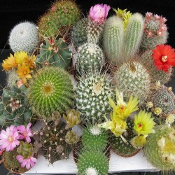 Cactaceae seeds mix