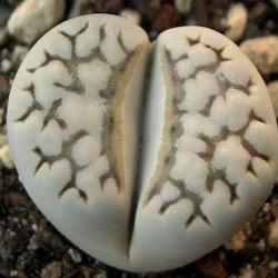 """Lithops julii """"chrysocephala"""""""