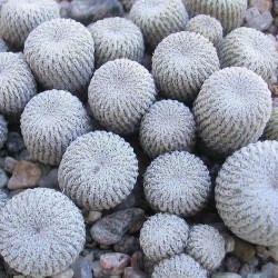Epithelantha micromeris v. greggii