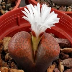 Ophthalmophyllum verrucosum
