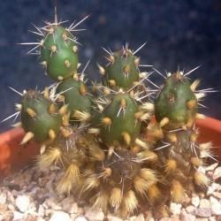 Maihueniopsis glomeratus atrospinosus