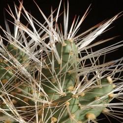 Maihueniopsis glomeratus longispinus