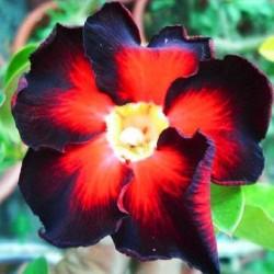 Adenium obesum Black Fire