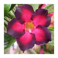 Adenium obesum Black Ruby