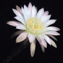 Echinocactus leucanthus