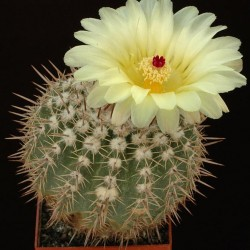 Notocactus allosiphon