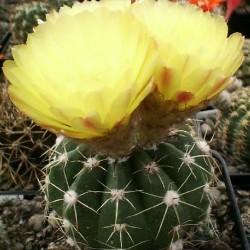 Notocactus incomptus