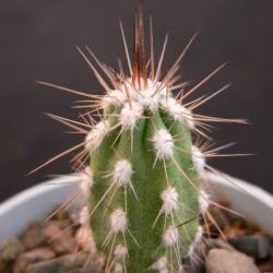 Eulychnia longispina