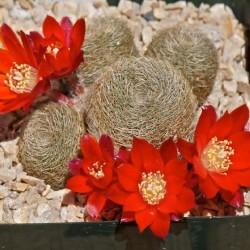 Rebutia heliosa ssp. teresae