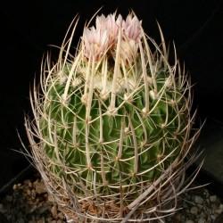 Stenocactus guerraianus