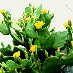Opuntia balearica