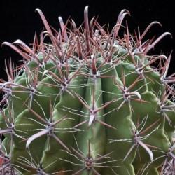 Ferocactus herrerae v. longispinus