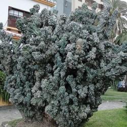 Cereus peruvianus f. monstruosus
