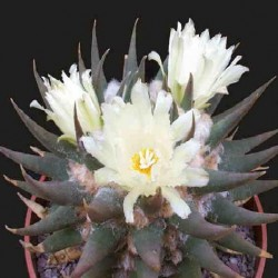 Ariocarpus trigonus v. elongatus