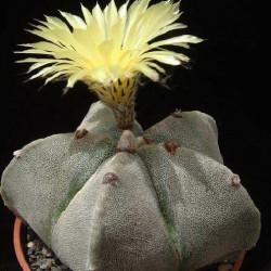 Astrophytum myriostigma v. strongylogonum