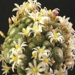 Blossfeldia fechseri