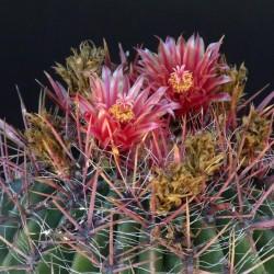 Echinocactus arizonicus