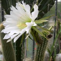 Echinopsis camarguensis
