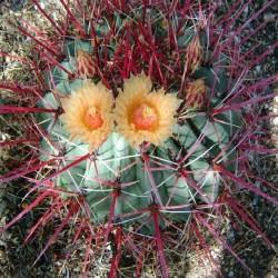 Ferocactus rectispinus x peninsulae