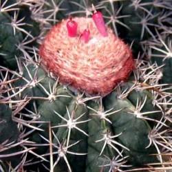 Melocactus lobelii