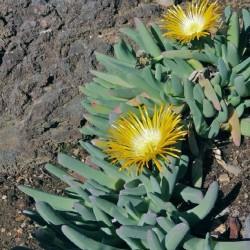 Cheiridopsis robusta