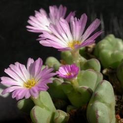 """Conophytum chauviniae """"Hoedkop"""""""
