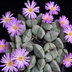 Conophytum ernianum