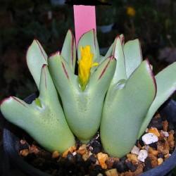 Conophytum meyerae