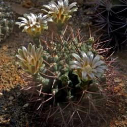 Gymnocalycium bodenbenderianum ssp. intertextum v. moserianum