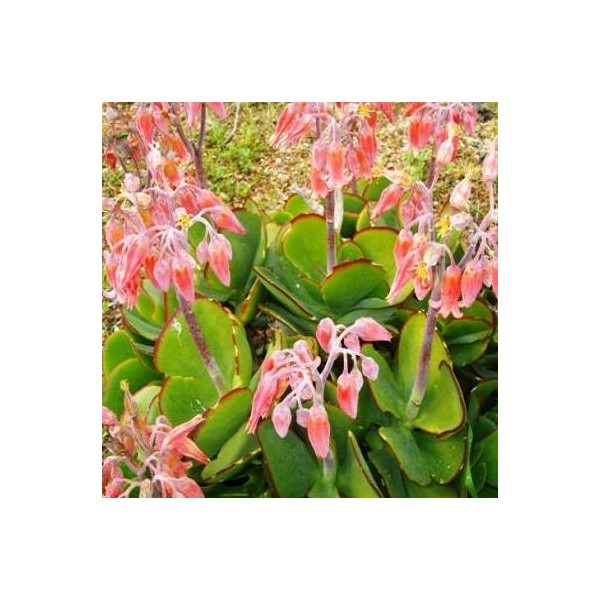 COTYLEDON  definition of COTYLEDON and synonyms of
