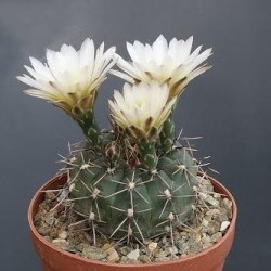 Gymnocalycium borthii v. viridis